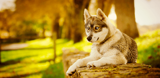 Apps Like Husky Dog Wallpapers Fullhd Backgrounds Themes For Android Moreappslike